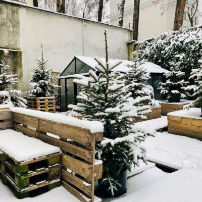Zdjęcie - zaśnieżone choinki stojące w skrzynkach przez budynkiem